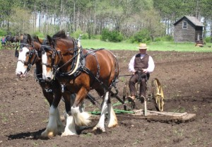 clydesdale plowing